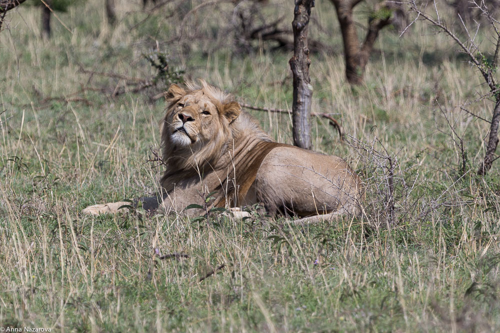slepping lion northern serengeti