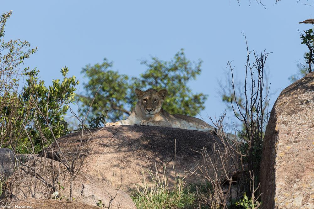 teenage lion northern serengeti