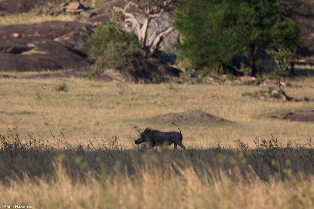 warthog northern serengeti