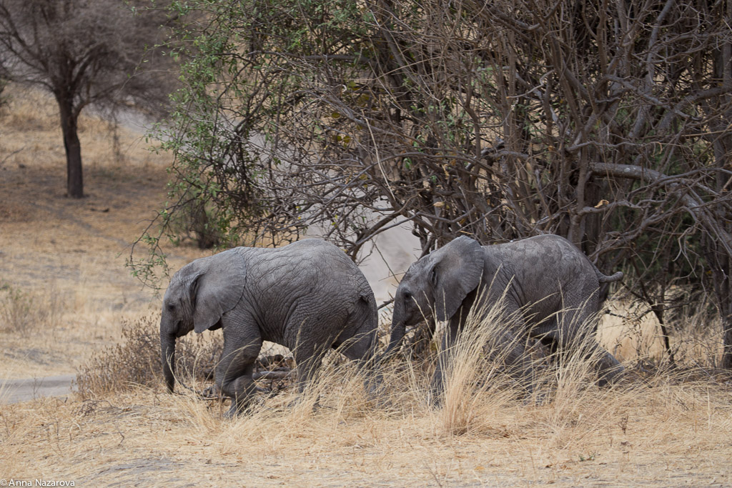 Baby elephants in Tarangire National Park
