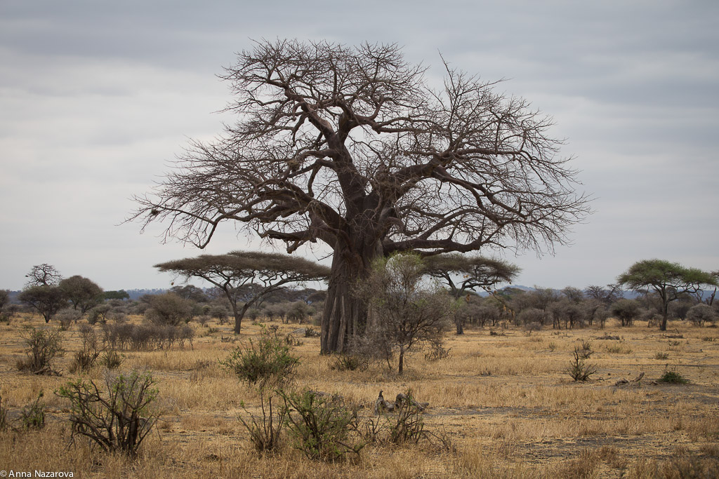 Baobab tree in Tarangire National Park