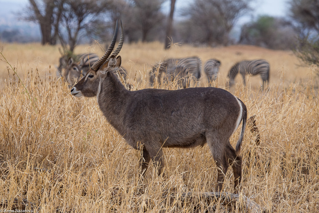 Common waterbuck in Tarangire National Park
