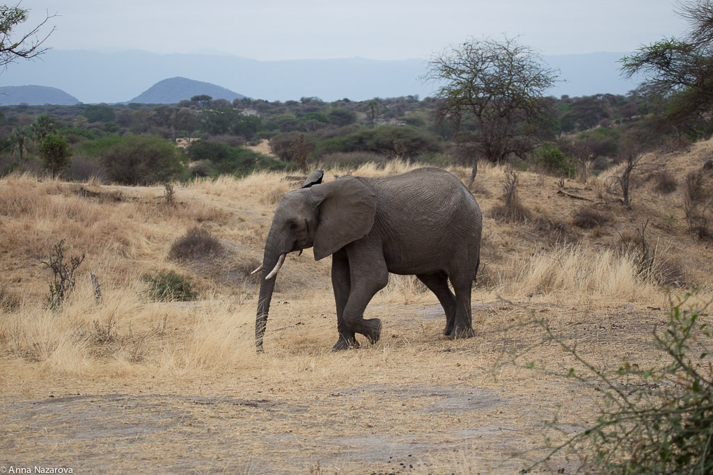 A male elephant in Tarangire National Park