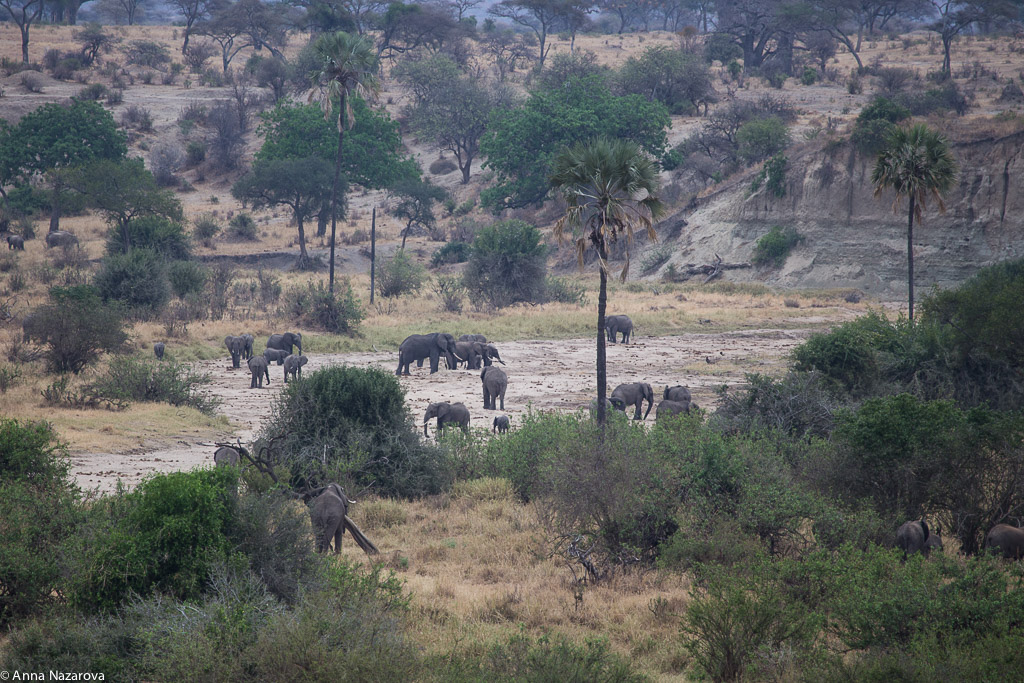 Landscape with herd of elephants in Tarangire National Park