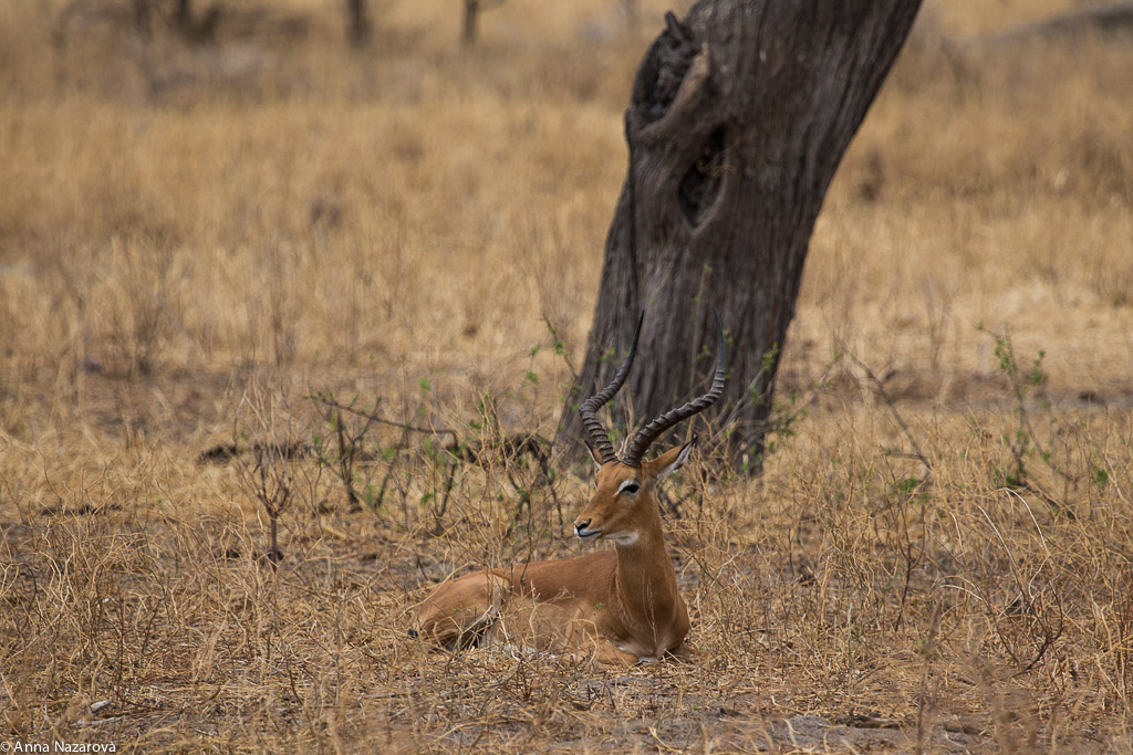 Grants gazelle in Tarangire National Park