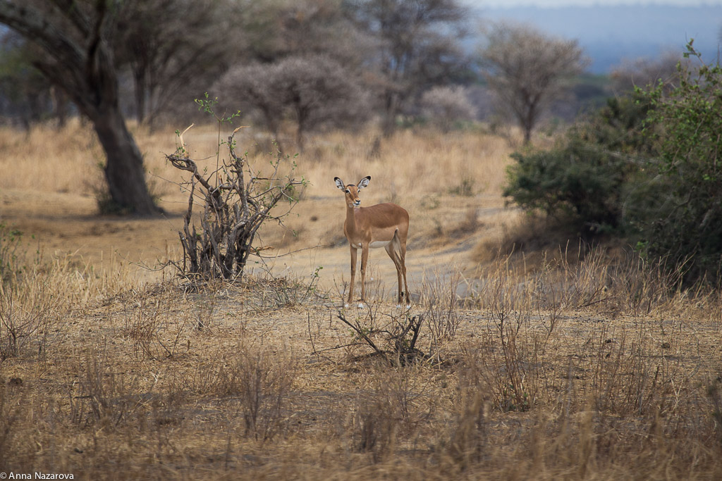 Impala gazelle in Tarangire National Park
