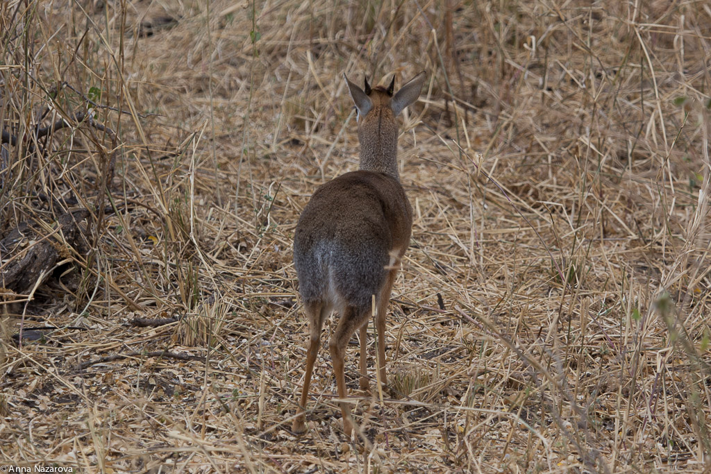Derriere of Kirk's Dik Dik in Tarangire National Park