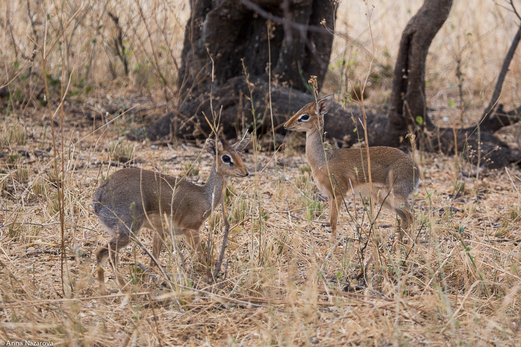Kirk's dik dik in Tarangire National Park