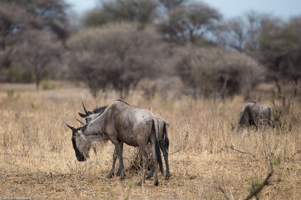 Wildebeest in Tarangire National Park