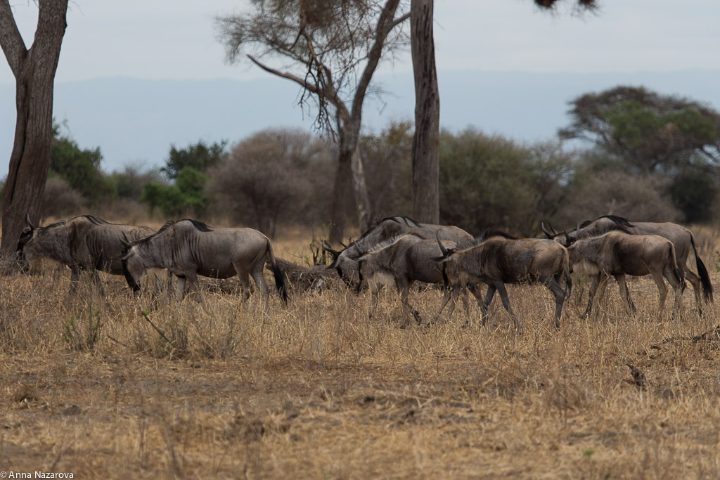 Wildebeest herd in Tarangire National Park
