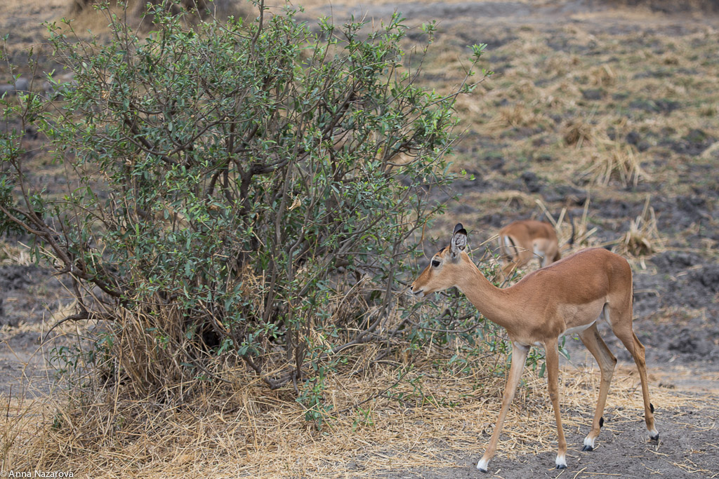 Young impala gazelle in Tarangire National Park