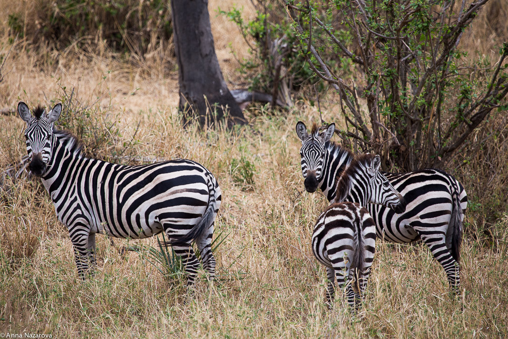 Zebras in Tarangire National Park