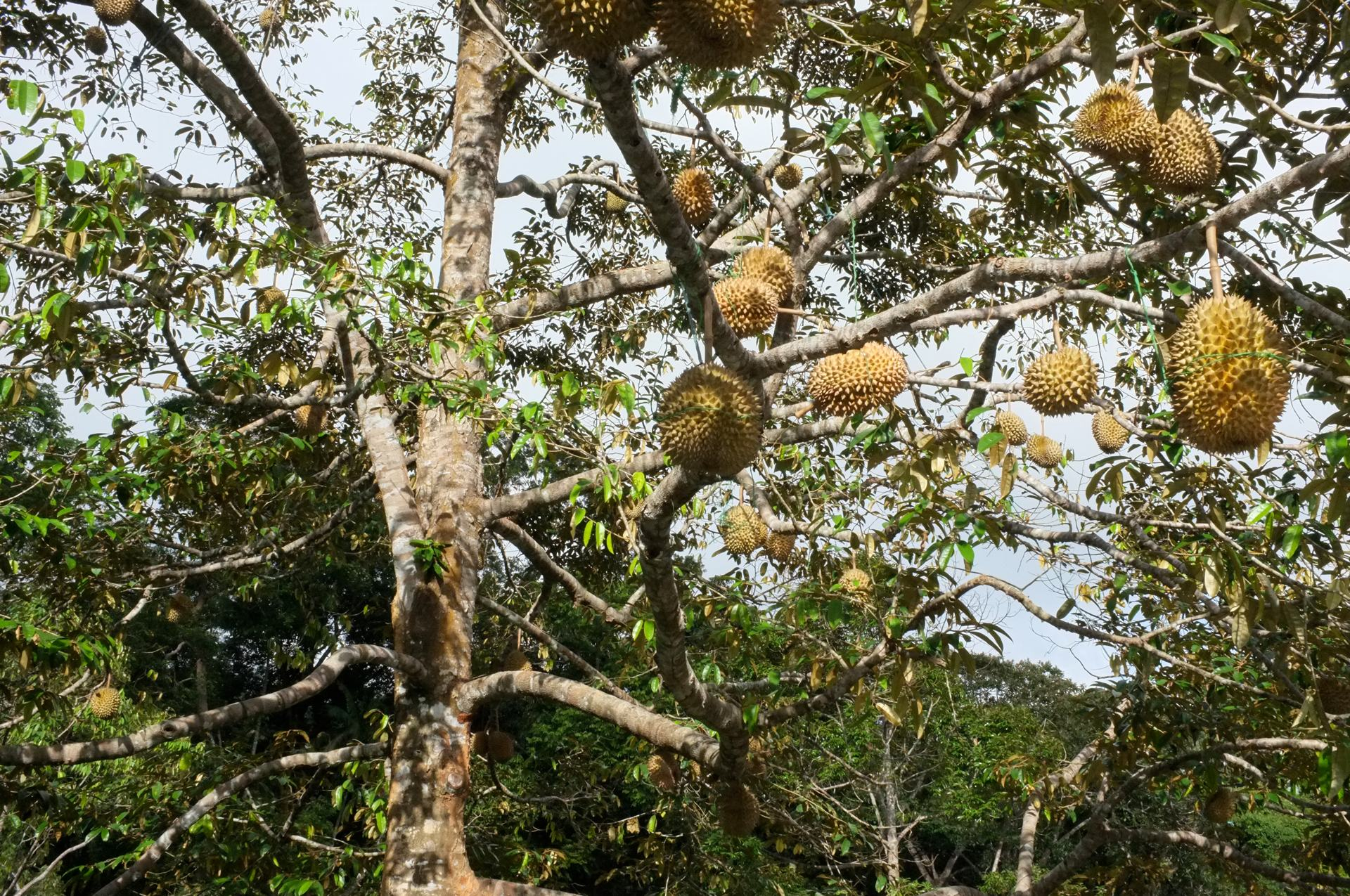 Tioman durian fruit