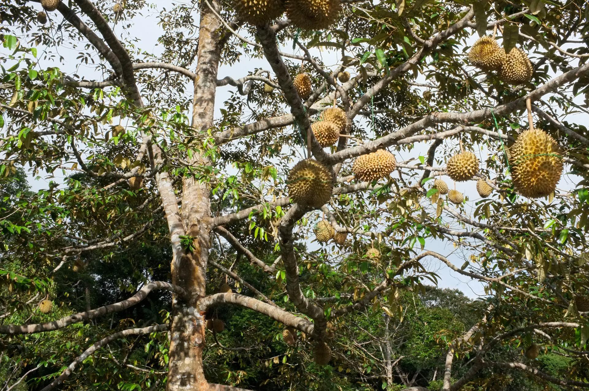 Tioman durian fruit