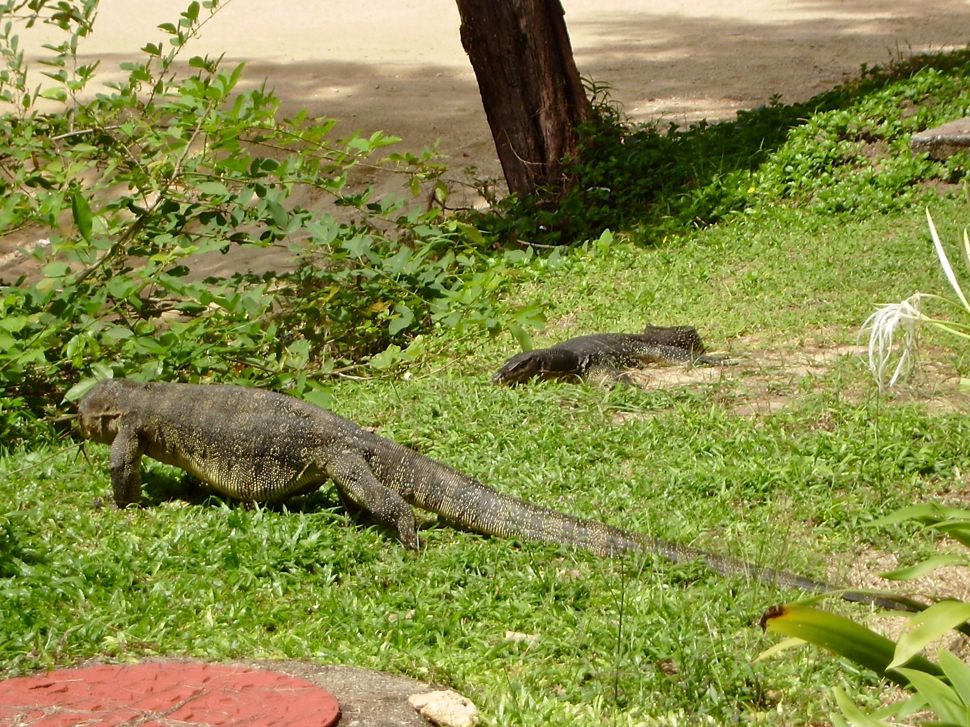 Tioman giant lizard