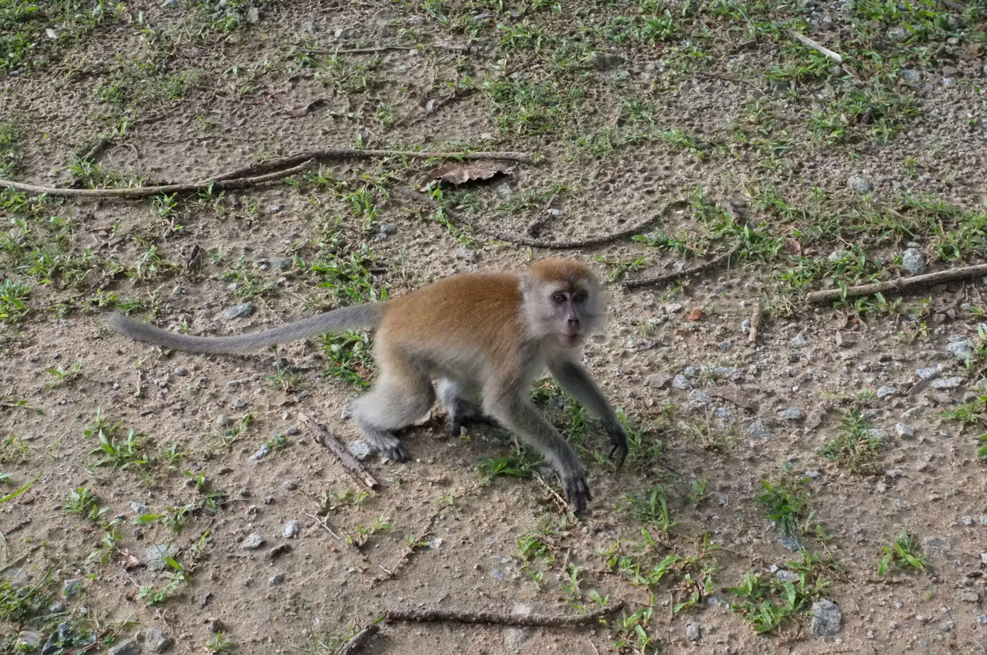 Tioman monkey